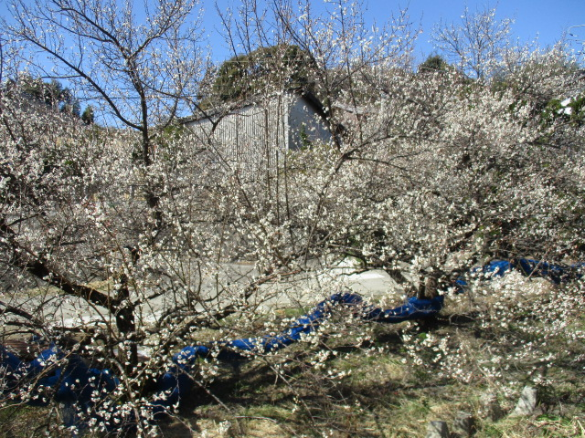 梅の木H29.2.15